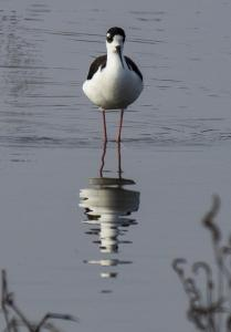 Wading Black Necked Stilt