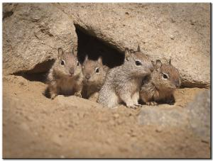 Ground Squirrel Pups.