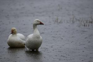 Snow Geese in the Rain