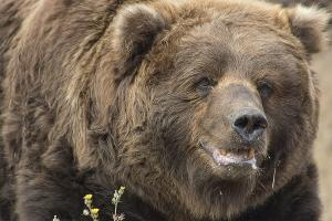 Adult Male Grizzly